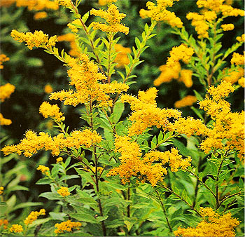 TỨ TUYỆT HOA  Golden-rod_solidago-virgaurea_herb-of-joy_01